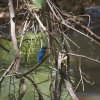Eisvogel (Common Kingfisher), Kaudulla NP